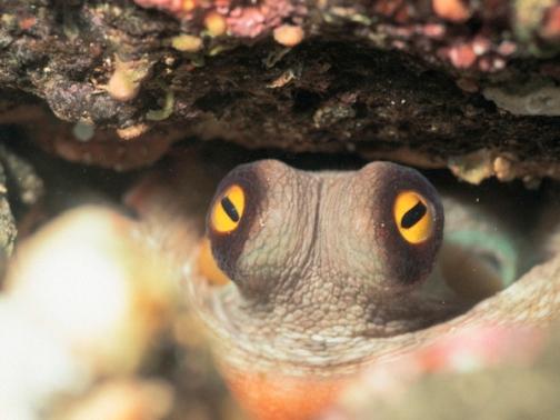 Eyes of Octopus --- Image by © Dex Image/Corbis